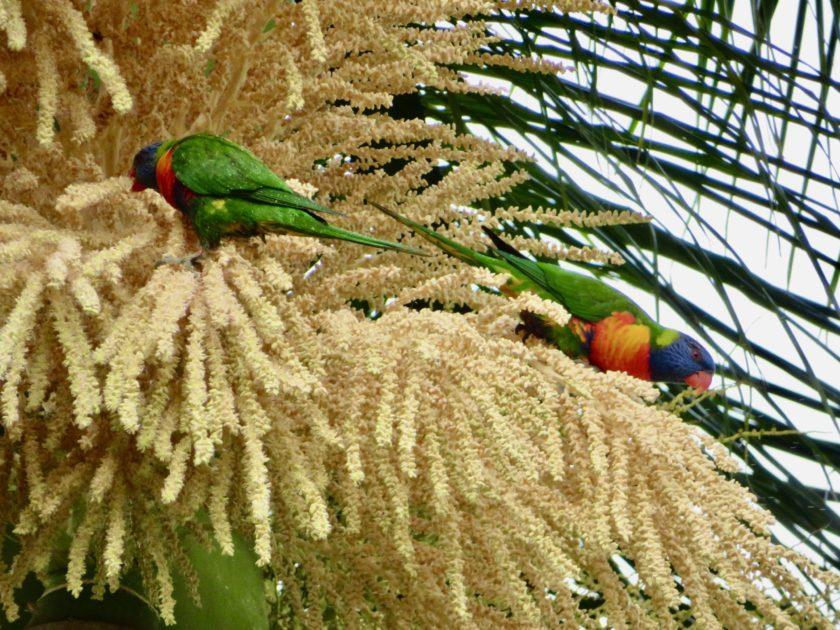 オーストラリアのうるさい鳴き声の鳥 五色青海インコ