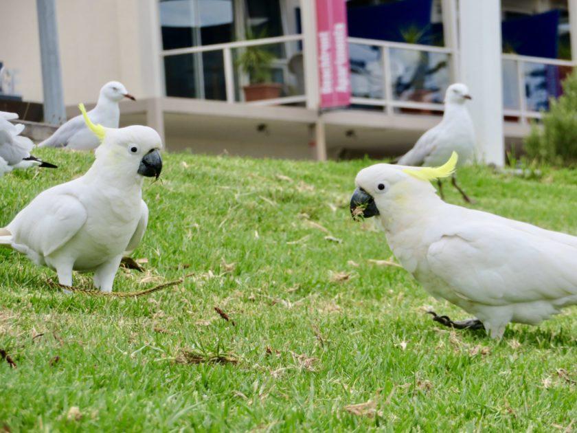 オーストラリアのうるさい鳴き声の鳥キバタン