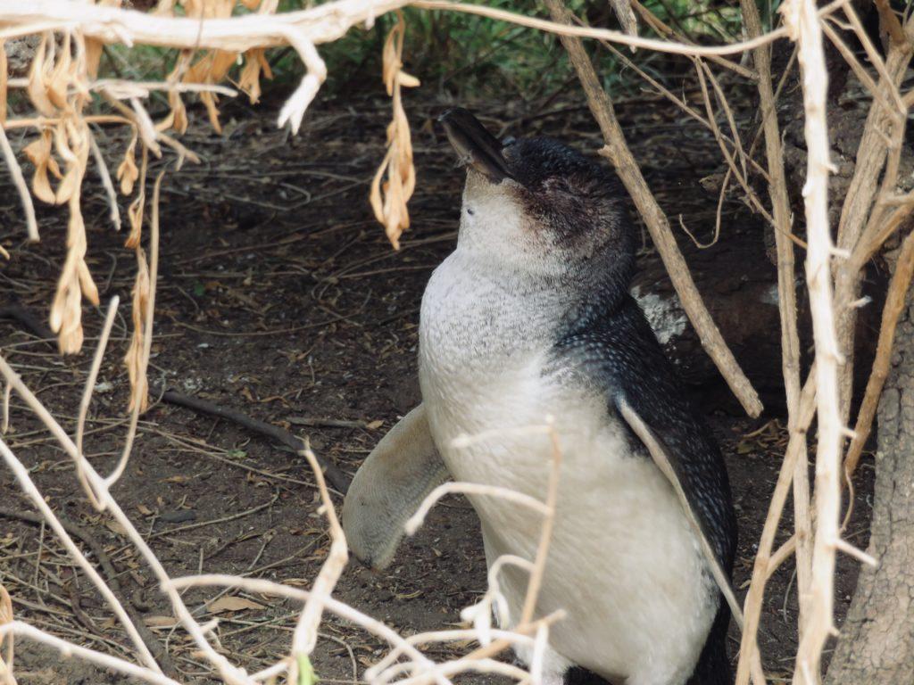 フィリップアイランドのペンギン