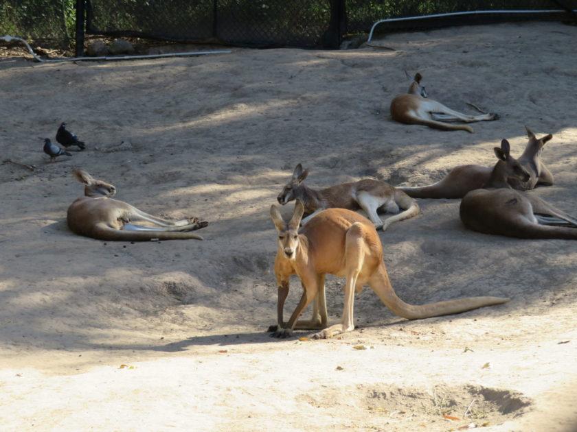 Red Kangaroo(赤カンガルー)